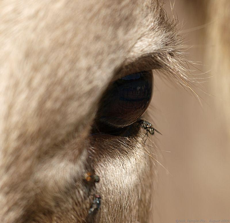 Cow's eyes