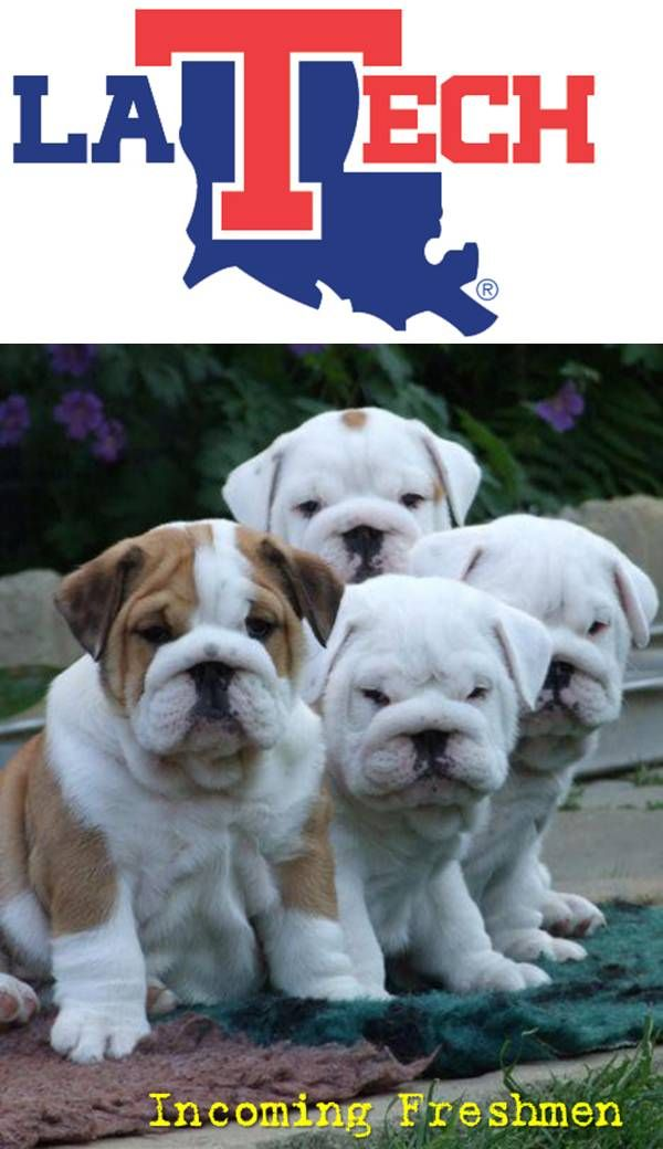 Louisiana Tech Bulldogs Incoming Freshmen English Bulldog