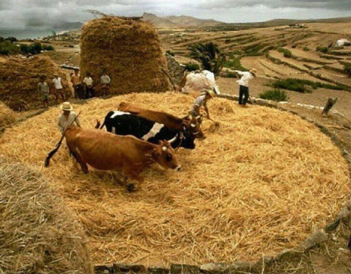 قرية الشظابية بجيلة Alshadabiah Twitter Animals Cow Goats