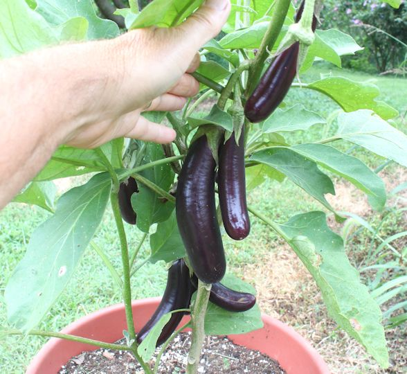 Growing Eggplant In Containers Growing Eggplant Garden Layout Vegetable Growing Vegetables
