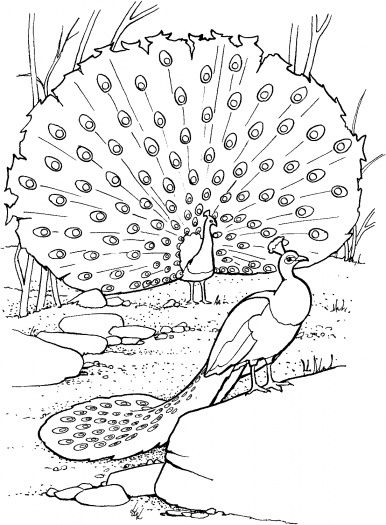 Realistic Peacock Coloring Page Two Peacocks Coloring Page