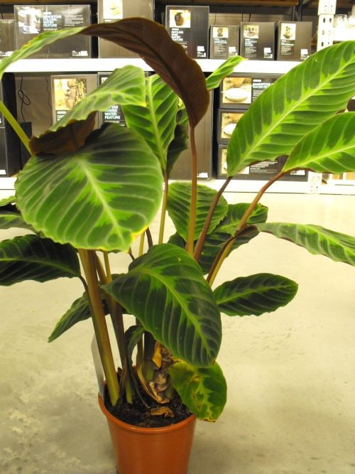 The ze plant (scientific name - calathea zebrina) is a ... Names Of Tall Indoor Houseplants on tall indoor containers, tall vines, tall indoor shrubs, large houseplants, 10 most common houseplants, tall indoor grass, tall indoor bamboo, tall flowering houseplants, tall indoor foliage, tall books, tall indoor palms, leafy houseplants, tall indoor cactus, tall trees, tall indoor planters, tall flowers, tall modern houseplants, tall indoor fountains, types of tall houseplants, tall plants,