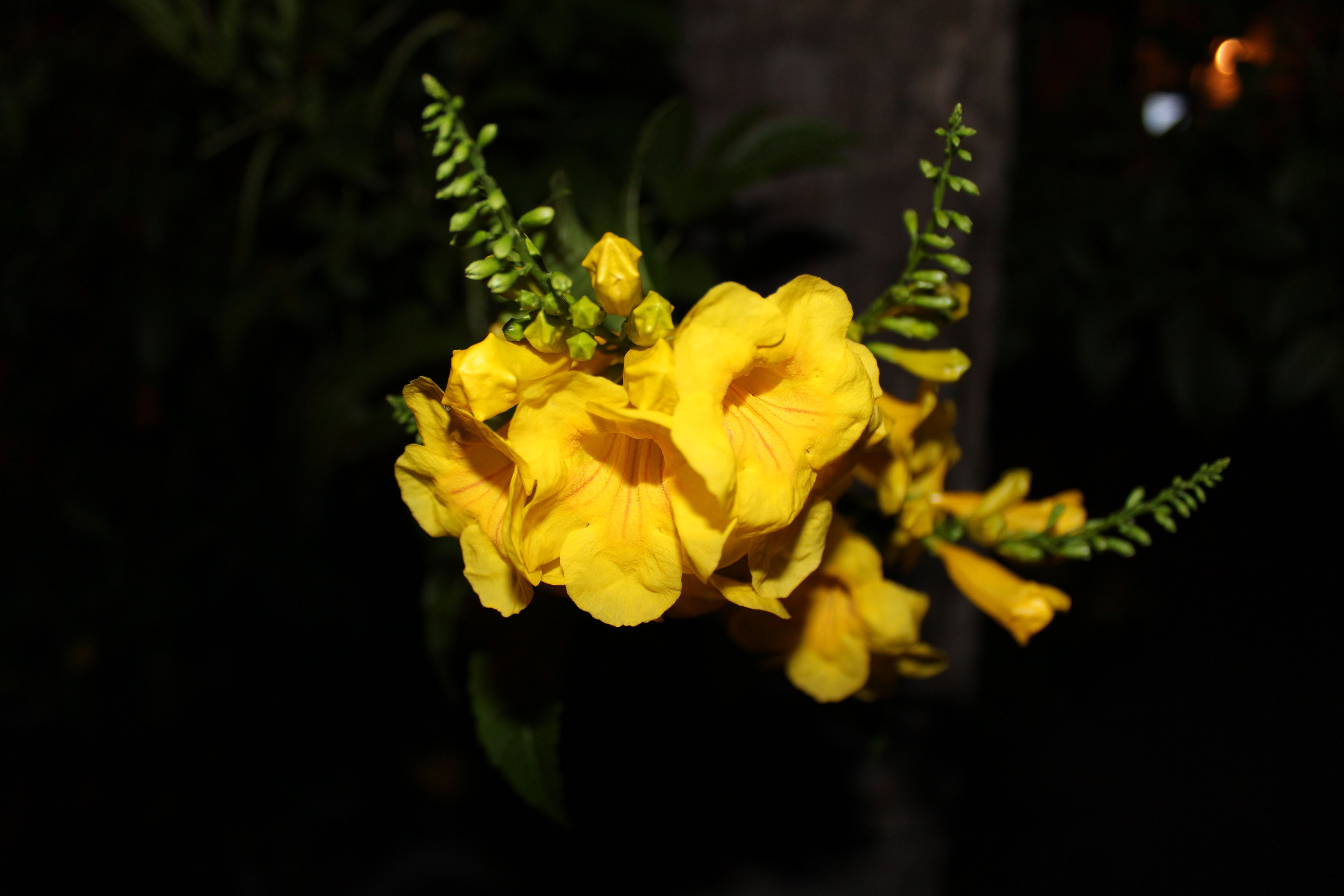 Yellow Flower At Night By Dean Vallejo Yellow Flowers Flowers Photography Flowers