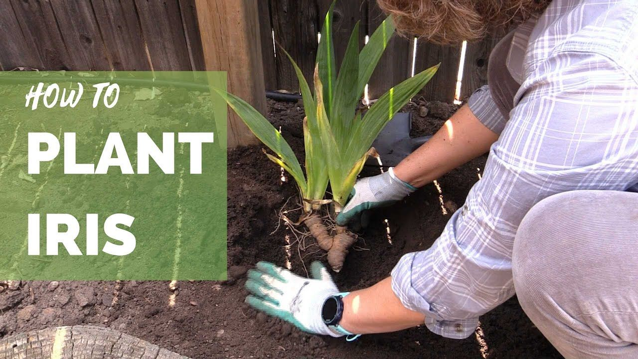 How To Plant Iris Correctly For Long Term Success Youtube In 2020 Plants Iris Iris Rhizomes
