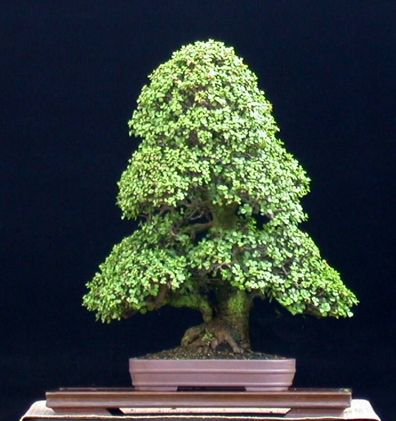 portulacaria afra   dwarf jade or elephant bush bonsai
