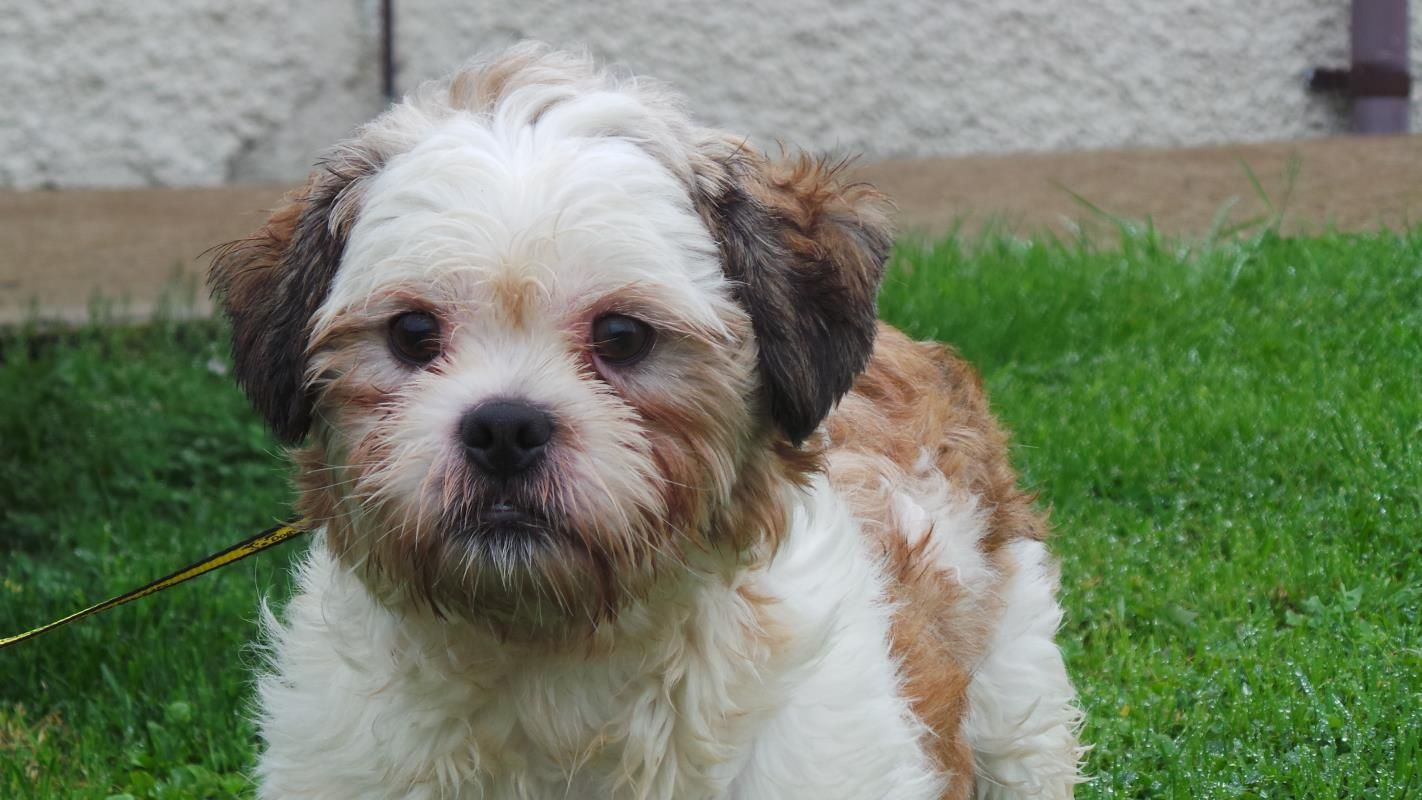 Adopt A Dog Tweed Shih Tzu Dogs Trust Dog Adoption Rehoming