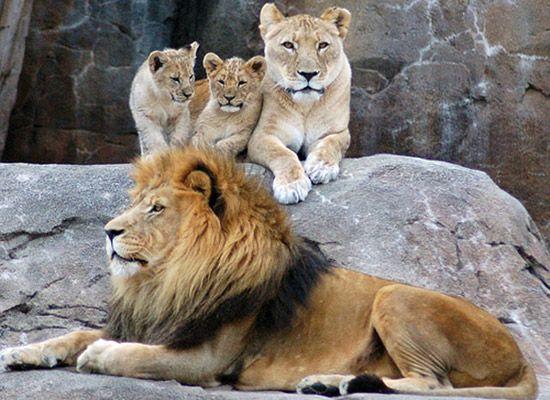 Löwen Familie;