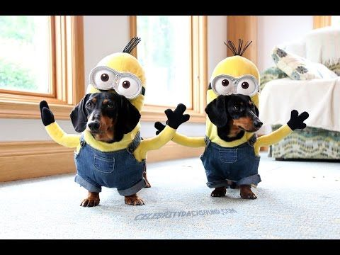 Wiener Dog Minions Youtube Dog Halloween Costumes Best Dog