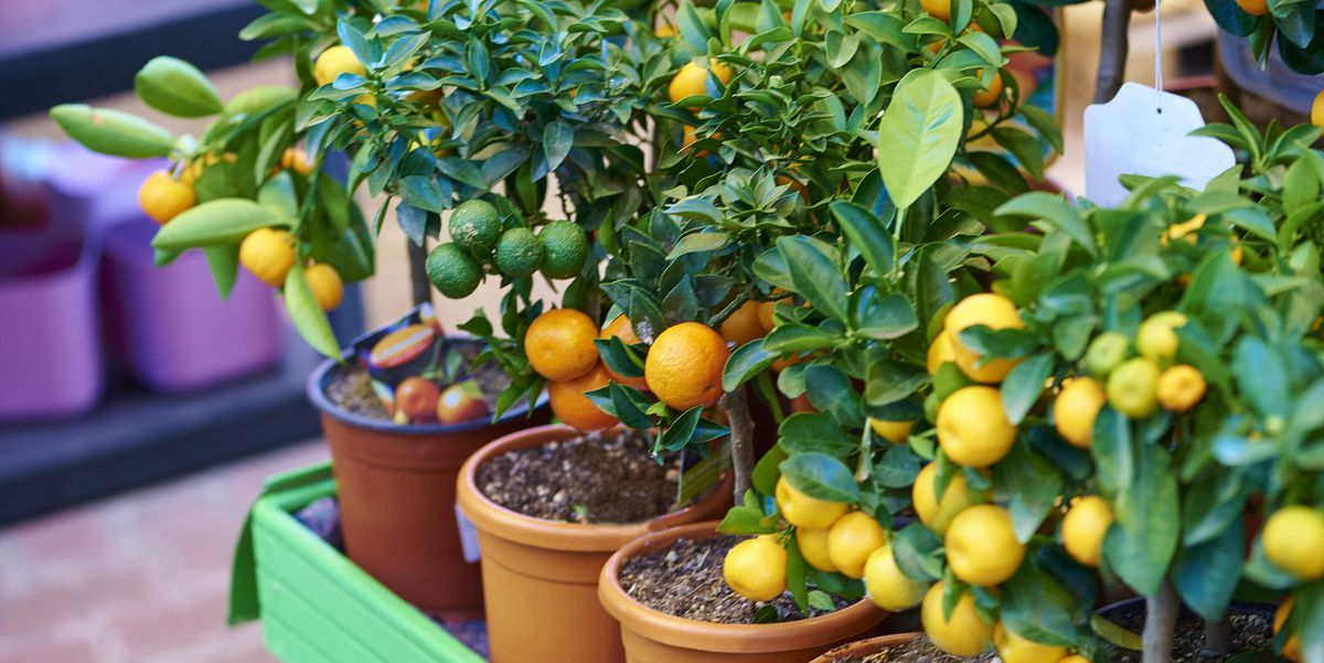 8 Fruit Trees You Can Grow Right On Your Porch Potted Fruit Trees Patio Fruit Trees Fruit Trees Uk