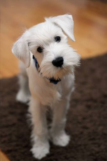 Adorable Dog Breeds Puppies Dogs