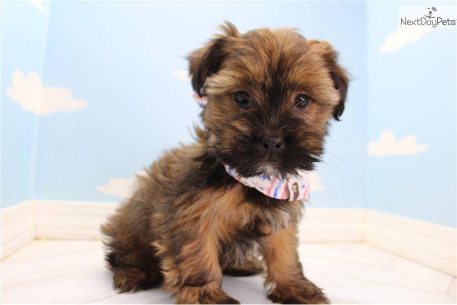 Shorkie Puppy For Sale Near Greensboro North Carolina 07c0dc2d