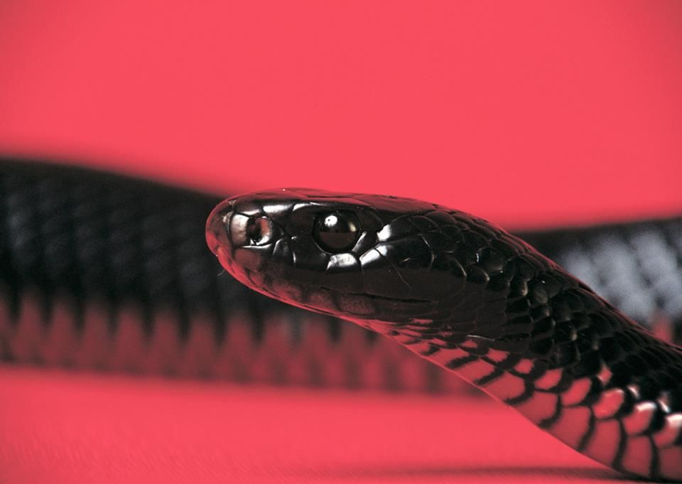 A red-bellied black snake.