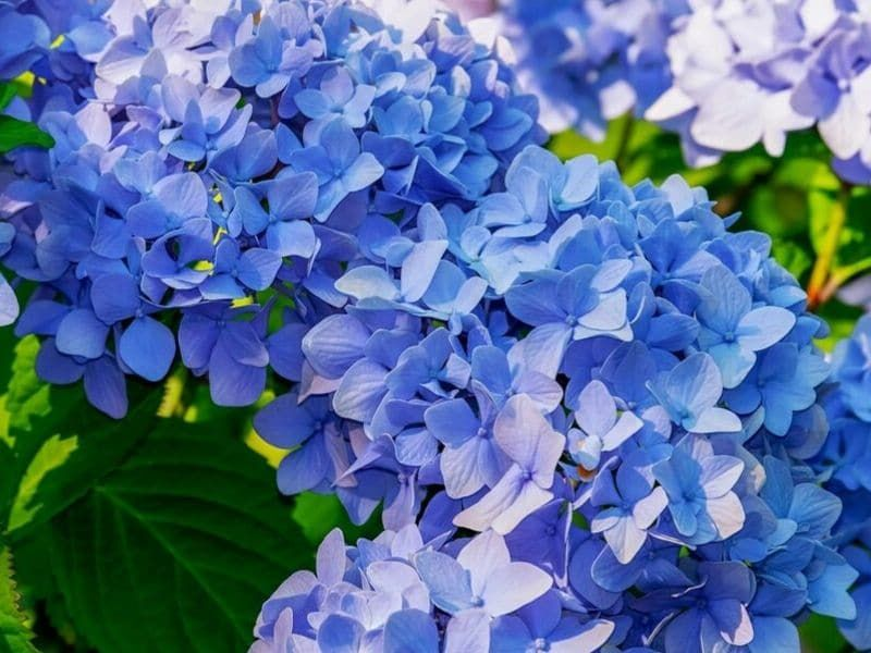 Hydrangea Flowers Different Colors And Meanings Florgeous Blue Hydrangea Plant Types Of Blue Flowers Planting Hydrangeas