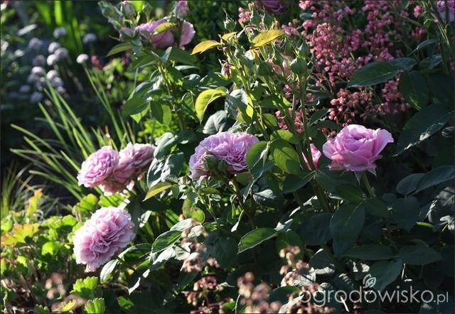 Znalezione obrazy dla zapytania lavender ice rose