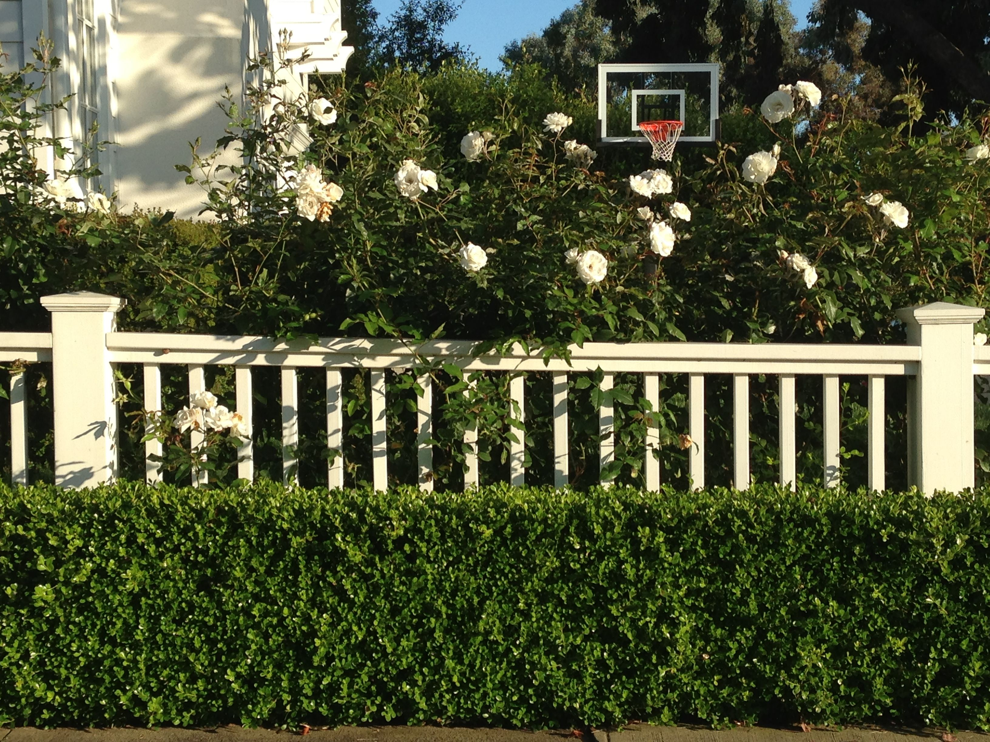 Fence Idea For Front Yard With Iceberg Roses And Hedge