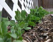 Row of snap peas - 8 x 10 photo - nature - garden - green plants
