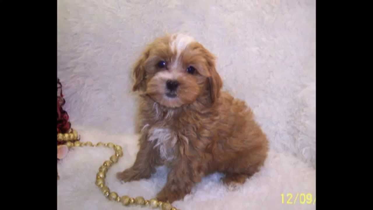 Shih Poo Puppies And Maltipoo Puppies For Sale Red Maltipoo Maltipoo Cathys Maltese Hypoallergenic In 2020 Maltipoo Puppy Maltipoo Puppies For Sale Puppies For Sale