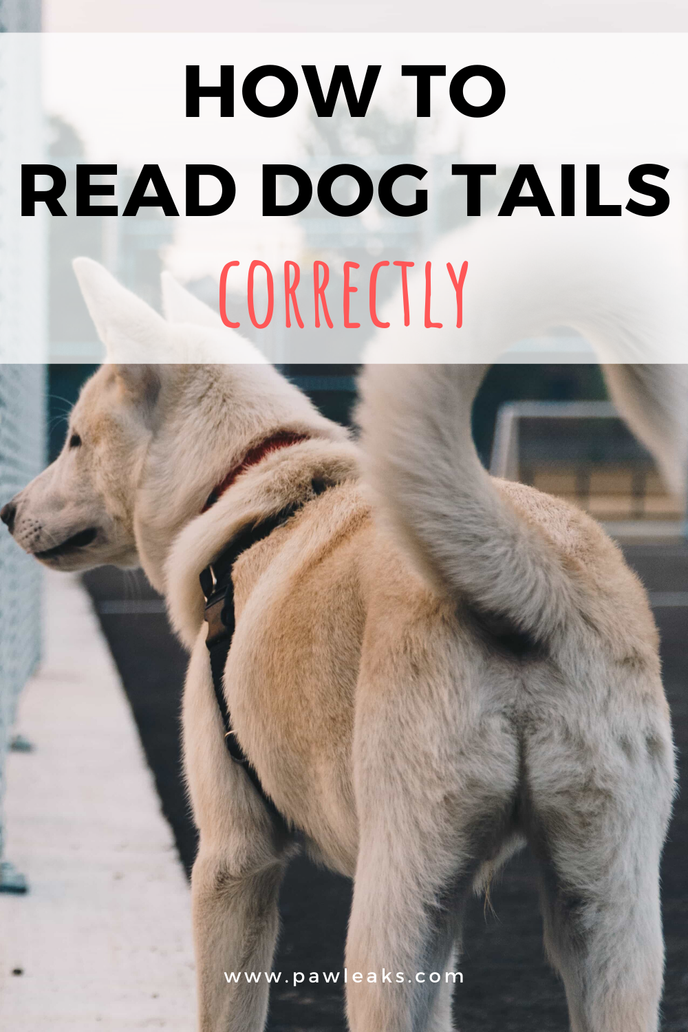 Dog Tail Down Or Up And Stiff Dog Tail Meaning Explained Pawleaks In 2020 Dog Tail Meaning Dogs Dog Body Language
