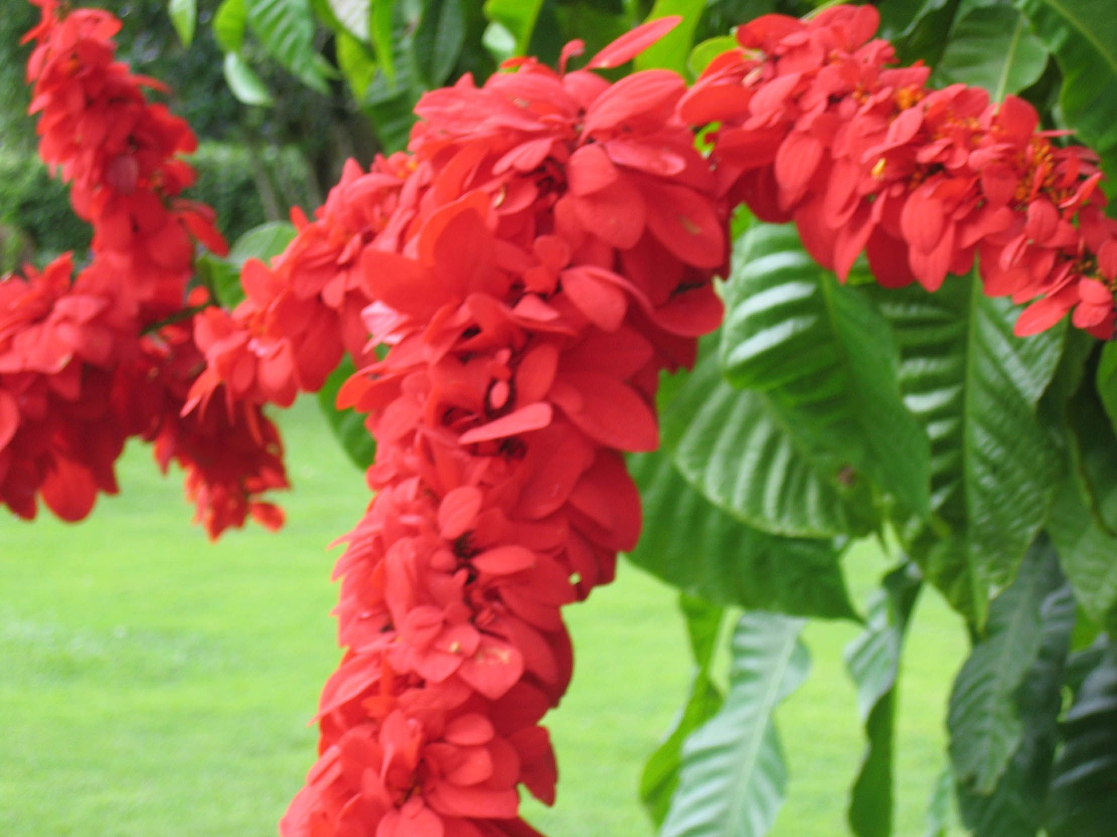 Seeing Red Flowers, Trinidad, Tropical flowers