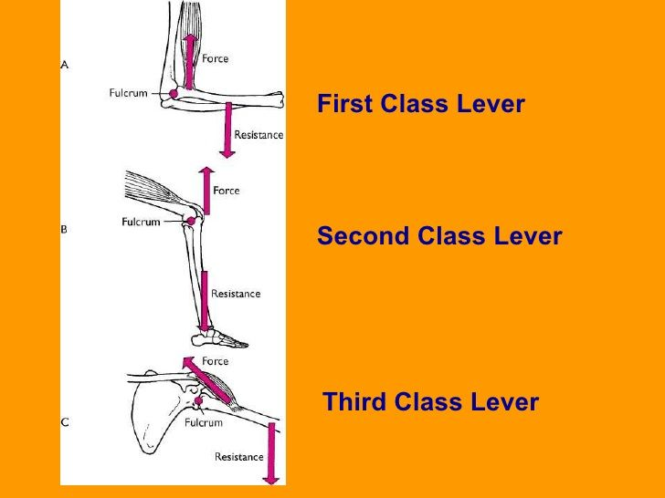 Image Result For 2nd Class Lever Examples Human Body Dynamic