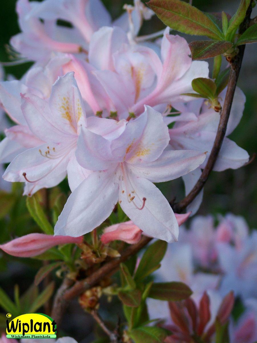 Rhododendron L. 'White Lights', Northern Light atzalea, Vita vackra blommor. Höjd: 1-1,5 m.