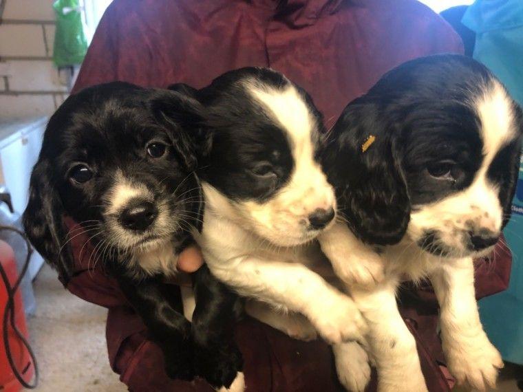 3 Cocker Spaniel Puppies For Sale. Spaniel puppies