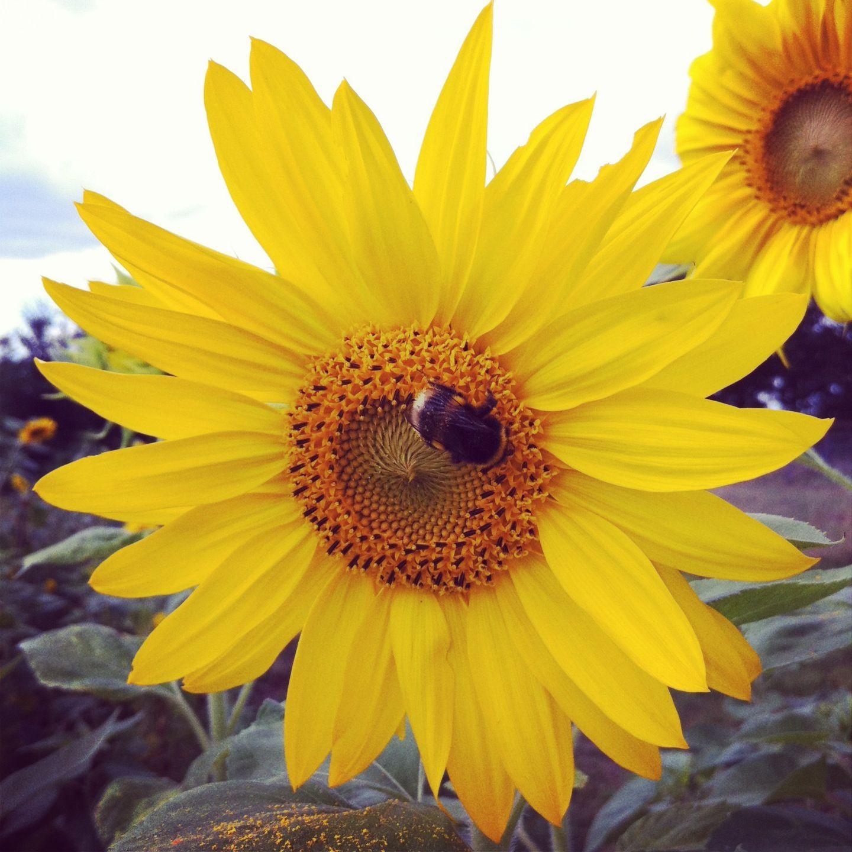 Sunflower Sunflower Plants Nature