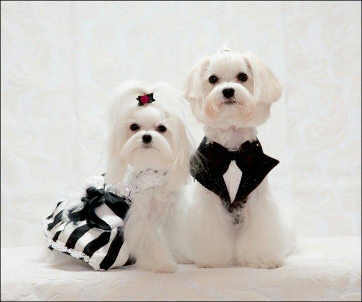 Sucha Cute Maltese Couple Maltese Dogs Maltese Puppy Maltese
