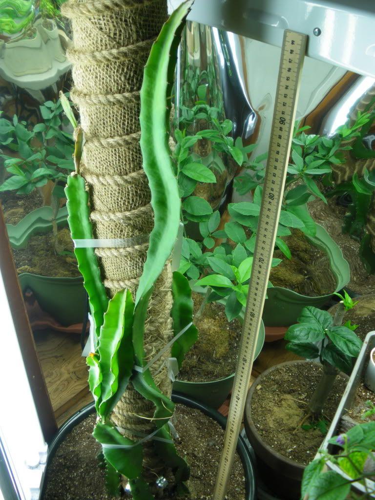 8625c0c3dfe14 dragon fruit trellis rope - Google Search