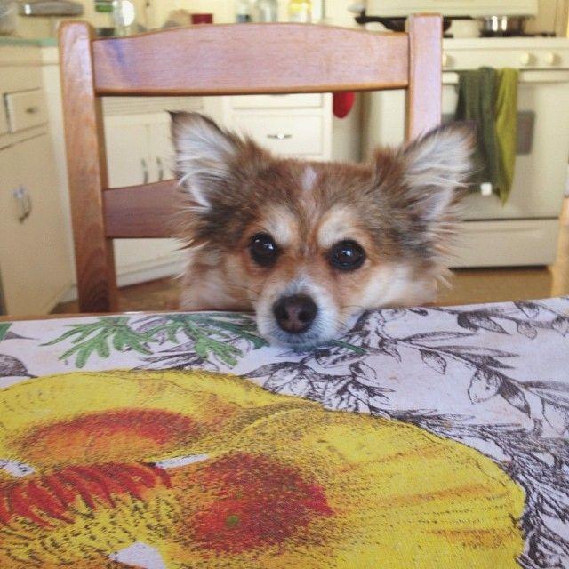 """Maybe if I sit like a human I'll get some human food?""  #daisy #pomchi #dogsofig  #sheistooadorable #canthandle #Padgram"