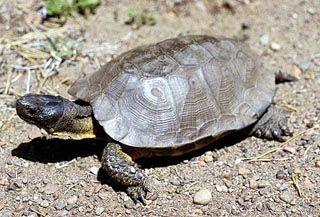 Wood turtle, Clemmys insculpta in Iowa