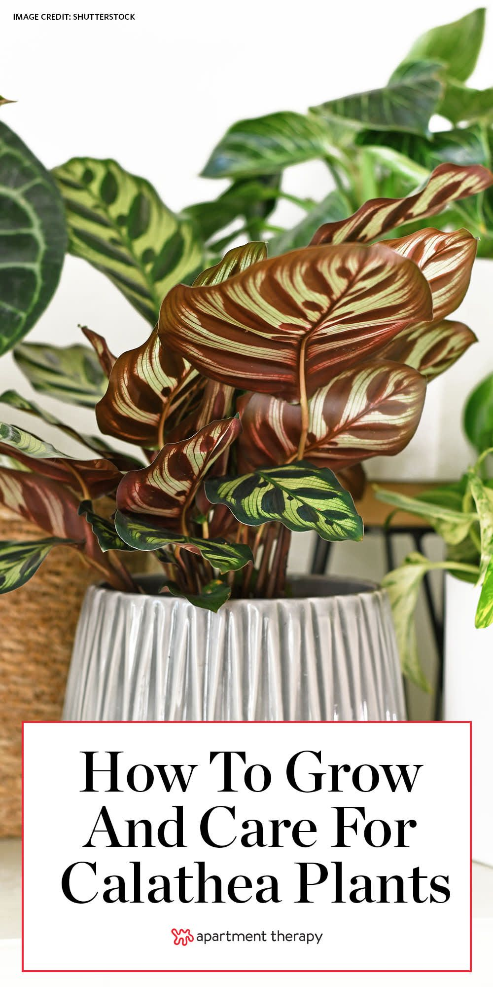 Caring for Calatheas, the Most Beautiful LowLight Plants is part of Calathea plant, Low light plants, Perfect plants, Plant care, Calathea, Plants - Most urban dwellers know the struggle of finding the perfect plant that not only adds greenery to your indoor space but also thrives within the conditions that we can provide for it  Beautiful or ornate foliage plants often have restrictive light requirements, leaving us with fewer options
