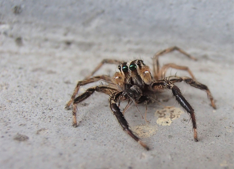 家によく出るメジャーな蜘蛛 でも結構カワイイ チャスジハエトリ