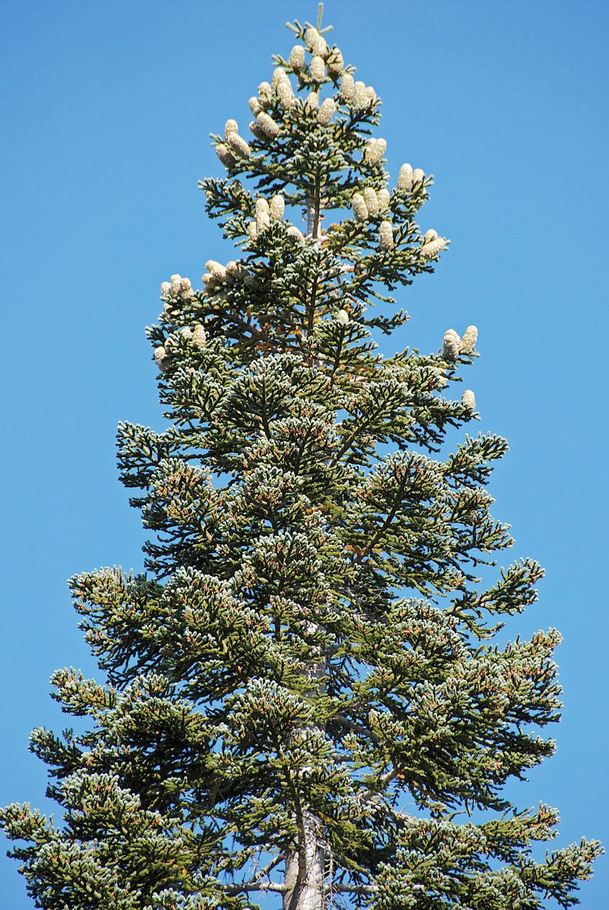 Abies Magnifica Google Search Trees Plants