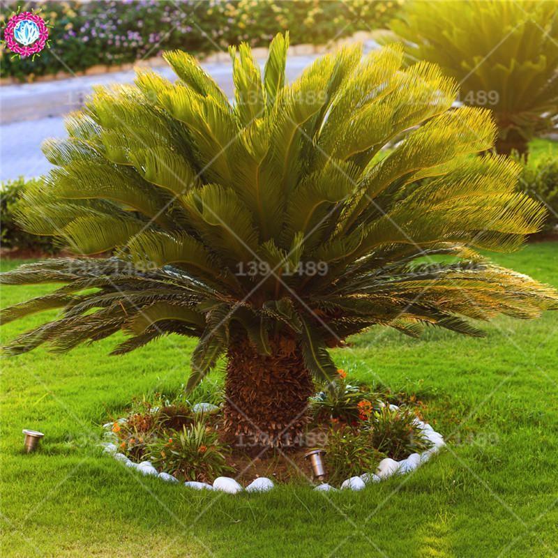 stylist design house plant seeds. 2pcs Cycas revoluta Thunb seeds real Iron tree Evergreen palm woody  US 1 76