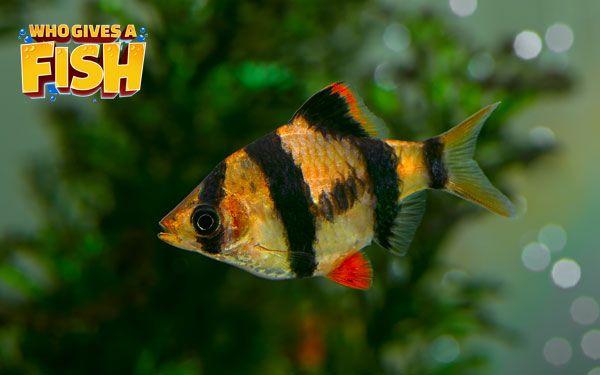 A Young Tiger Barb Fish Pet Aquarium Fish Fish
