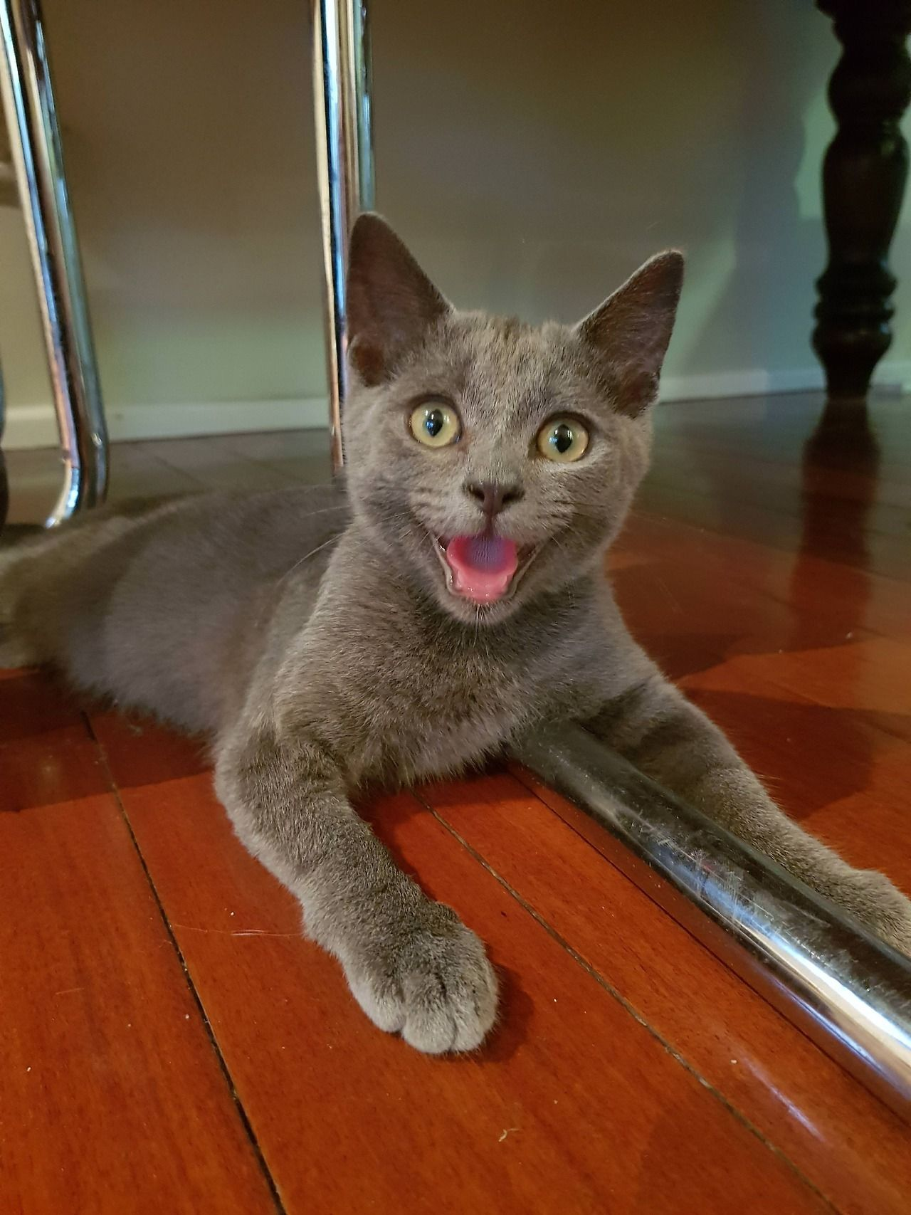 Reddit Meet Teddy The 3 Month Old Kitten We Adopted Yesterday By Truekneegr0w Cats Kitten Catsonweb Cute Ador Russian Blue Cat Cute Cats And Kittens Blue Cats