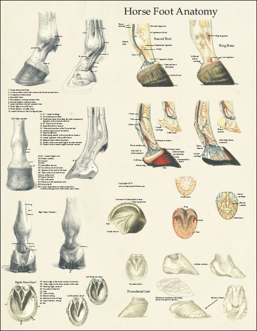 Horse Foot Anatomy Poster - 18\