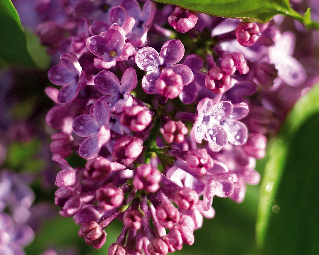 Best smell in the world: Lilacs after the rain.
