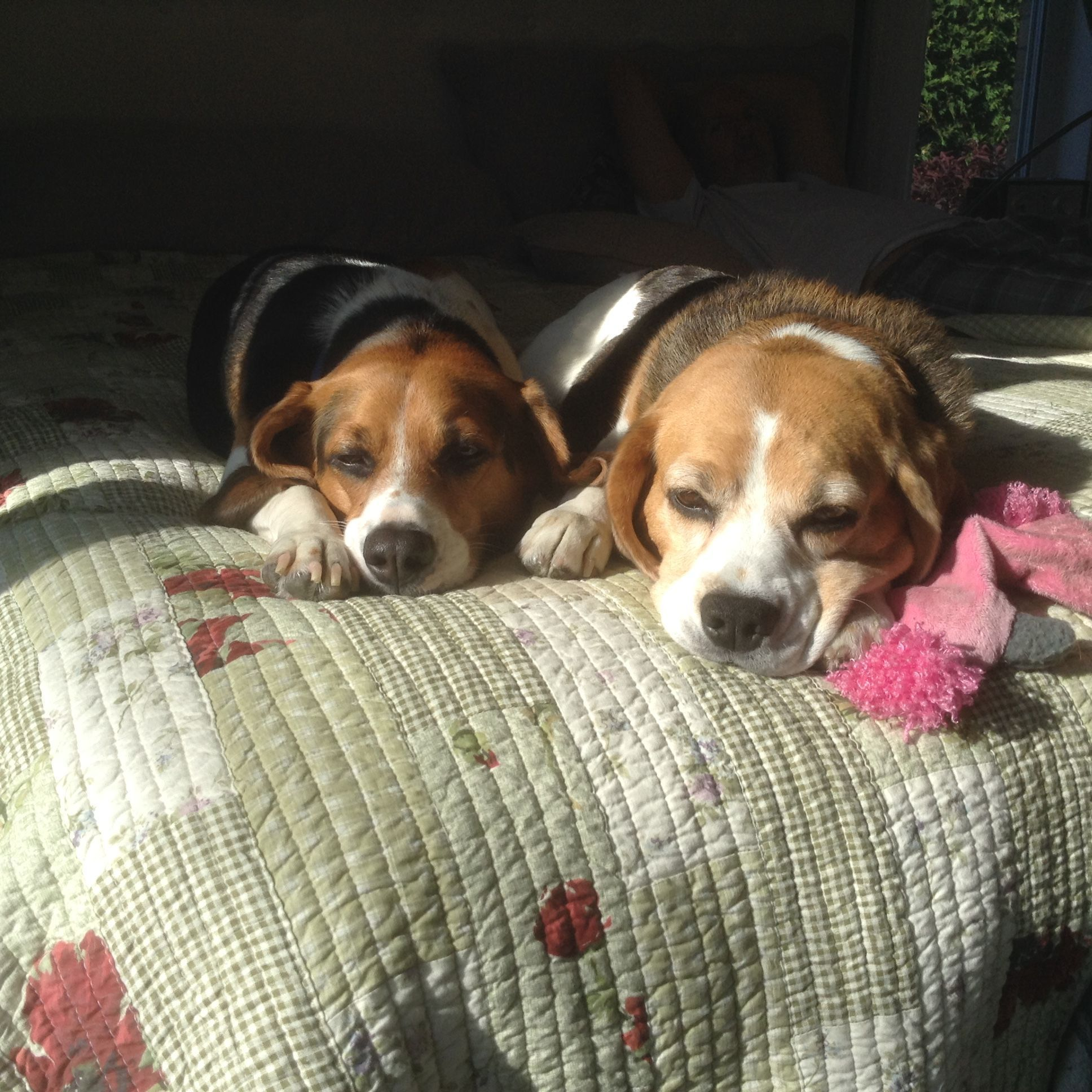 Beagle Bella And Murfle In The Sun Right Breed For You Beagle