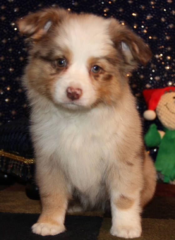 Red Merle Toy Aussie Puppies In Co Me Md Ma Mi Mn Ms Mo Mt