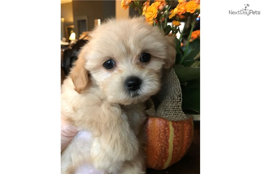 Bieber Shih Poo Shihpoo Puppy For Sale Near Dallas Fort Worth Texas 2add8547 9381 Shih Poo Puppies Shih Poo Puppies For Sale