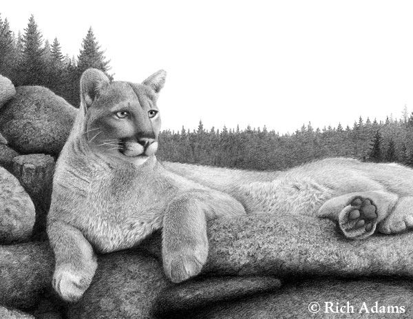 Mountain Lion - Detail 1