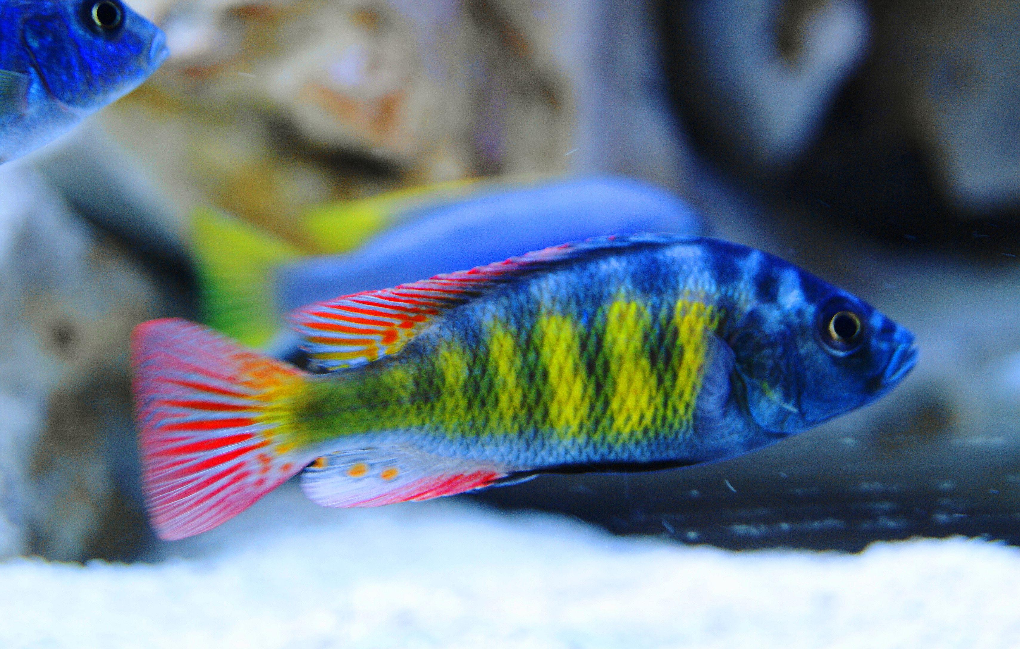 Haplochromis Sp 44 Obliquidens Haplochromis Thick Skin Pet Fish African Cichlids Cichlid Aquarium