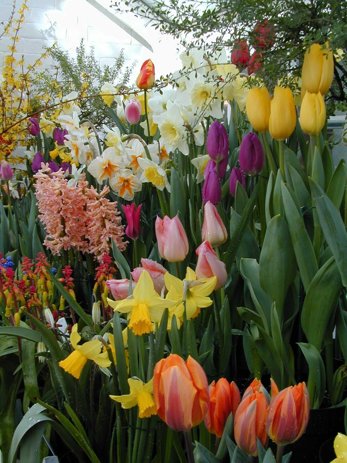 BULB GARDEN | Botanic Garden At Smith College, Mum And Bulb Shows In  Physiology .