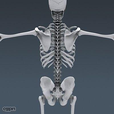 Human Skeleton - Anatomy - 3d model - CGStudio | skelaton