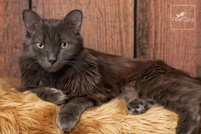 Los 13 Gatos Más Bonitos Del Mundo Con Fotos Feelcats Gatos Azul Ruso Gatos Bonitos
