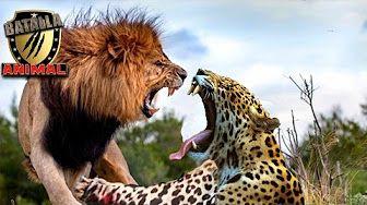 leopardos vs leones - YouTube