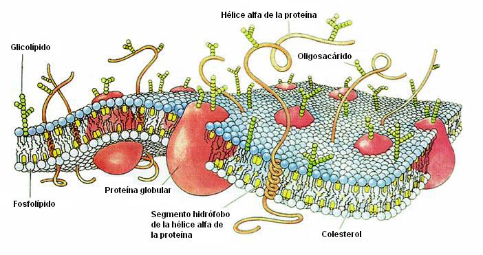 CellMembraneDrawing_(es).png (702×371)