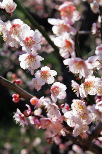 Peach Tree Flowers Fruit Trees Peach Trees Peach Blossom Tree